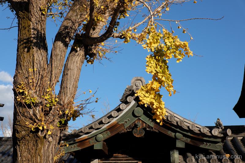autumn ginkgo Higashihonganji temple Kyoto