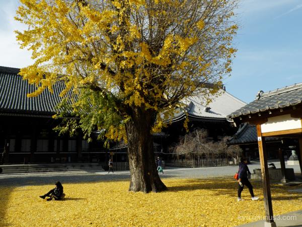 Ginkgo autumn  Bukkoji temple Kyoto