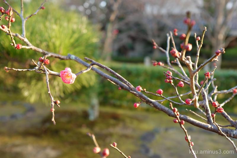 winter Japanese-plum Chishakuin temple Kyoto
