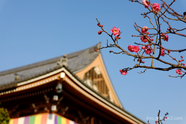 winter Japanese-plum Chishakuin temple Kyoto