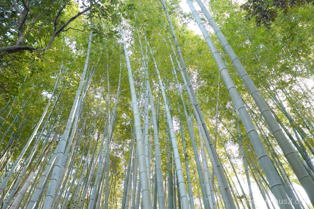 bamboo-grove Daitokuji temple Kyoto