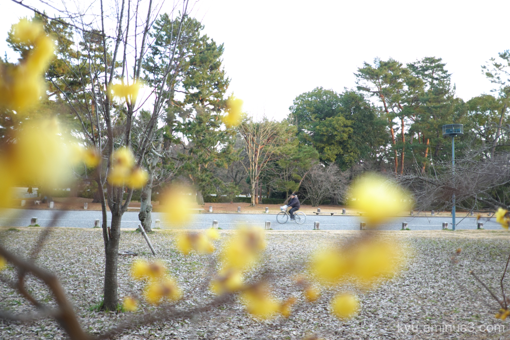 yellow-blossoms Gosho Kyoto