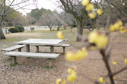 winter yellow-blossoms kyoto