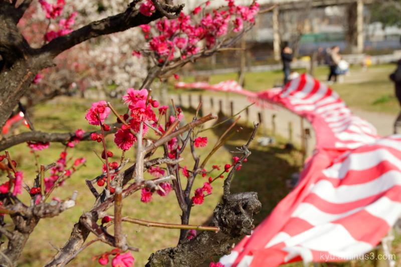 windy Japanese-plum Umekoji park Kyoto