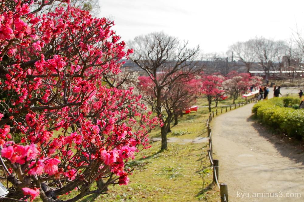Japanese-plum blooming Umekoji park Kyoto