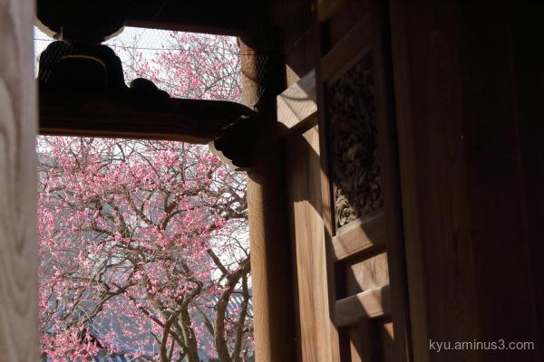 Japanese-plum Koshoji temple Kyoto