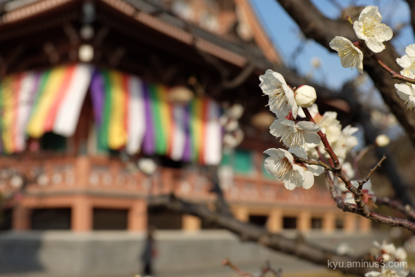 Japanese-plum blooming Chishakuin temple Kyoto