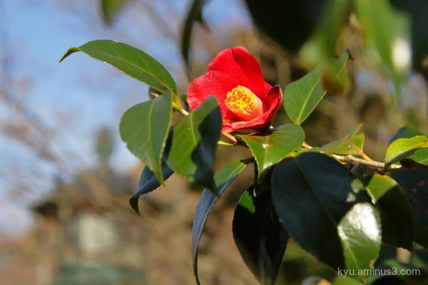 camellia flower Sinnyodo temple Kyoto