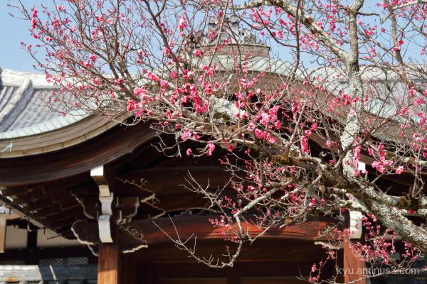 Japanese-plum Konkaikomyoji temple Kyoto