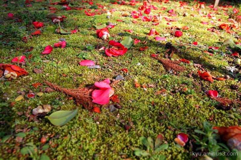 camellia flowers sinnyodo temple kyoto