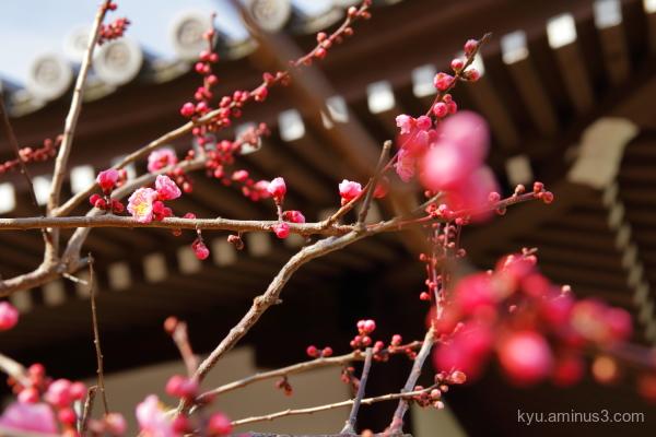 Japanese-plum Shinnyodo temple Kyoto