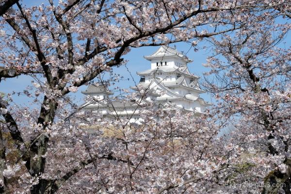 cherry-blossoms Himeji-castle Himeji Hyogo