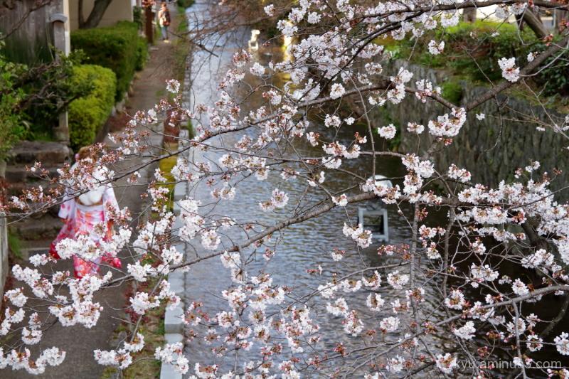 cherry-blossoms Kyoto