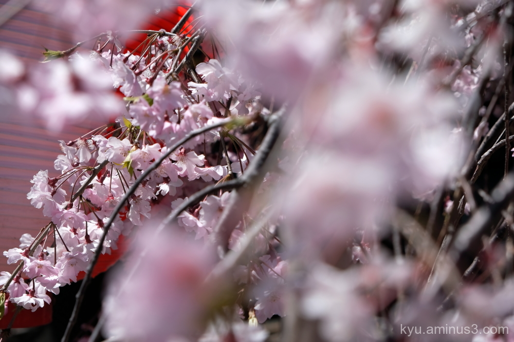 drooping-cherry blossoms Bukkouji temple Kyoto