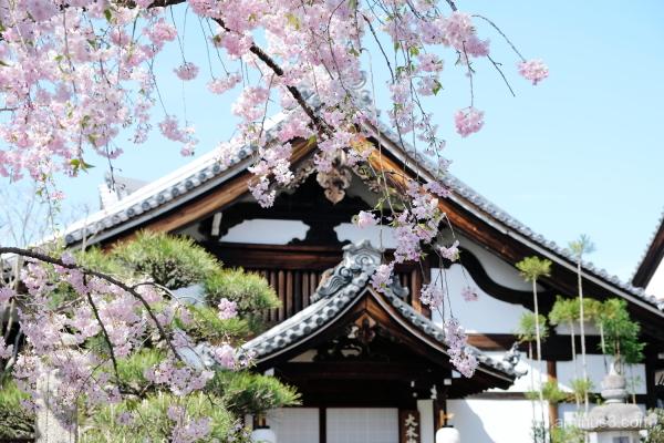 drooping-cherry Myokenji temple Kyoto