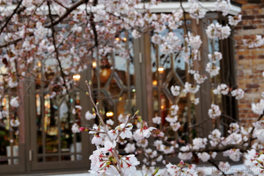 cherry-blossoms Kyoto