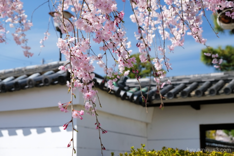 drooping-cherry blossoms Myokrnji temple Kyoto