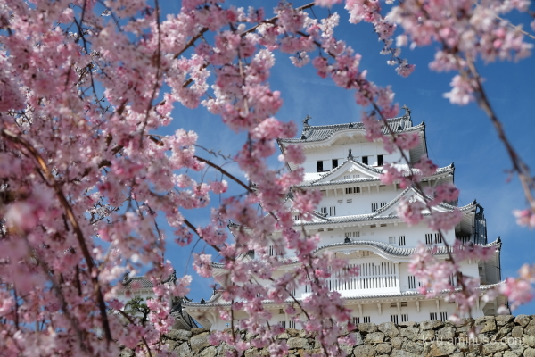 drooping-cherry blossoms Himeji-castle Himeji
