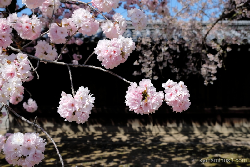 double-flowered cherry blossoms Myokakuji temple K