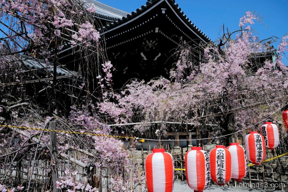 drooping-cherry paper-lantern Bukkouji temple