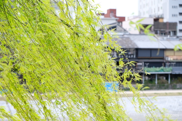 breeze willow drooping Kyoto