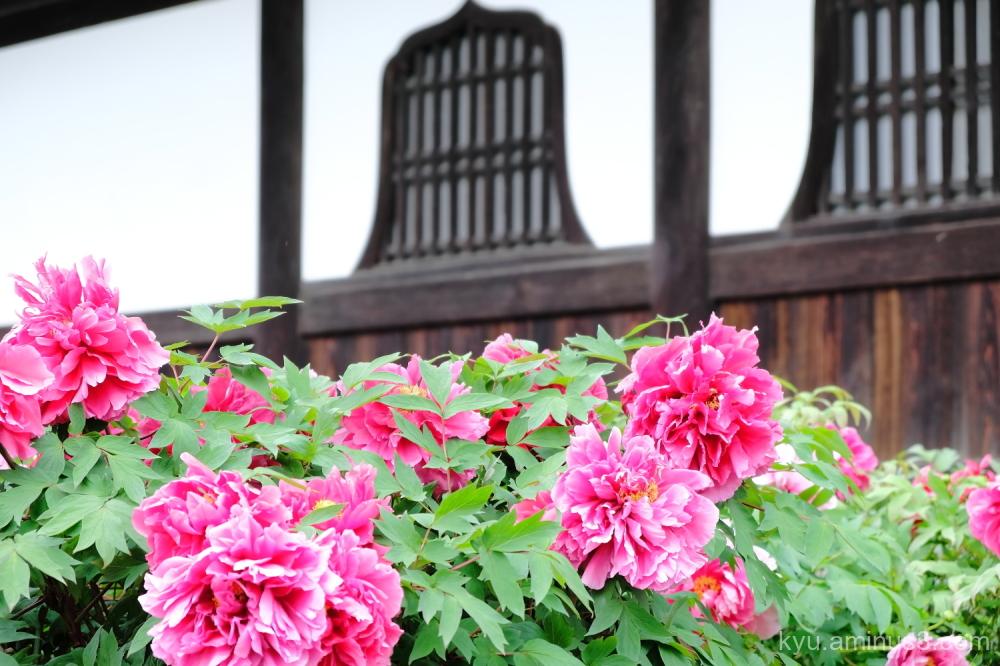 peony flowers Kenninji temple kyoto