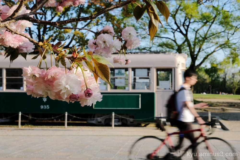 double-flowered cherry blossoms tram Umekoji Kyoto