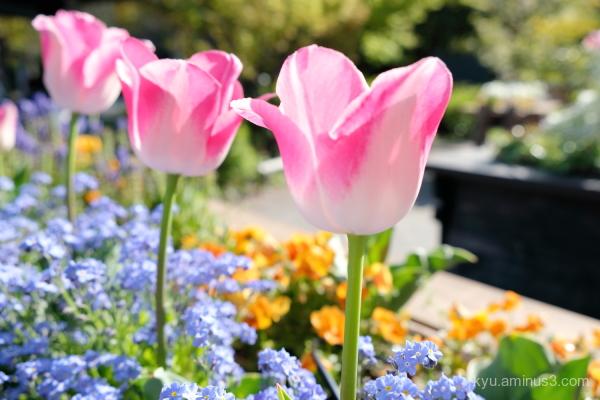 tulip flowers park Kyoto