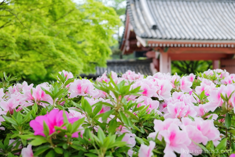 azalea blossoms Sinnyodo temple Kyoto