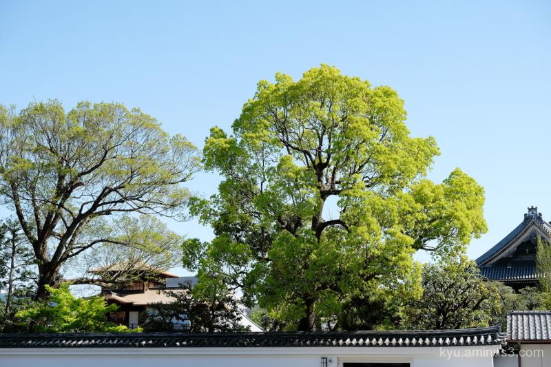 fresh-green Nishihonganji temple Kyoto