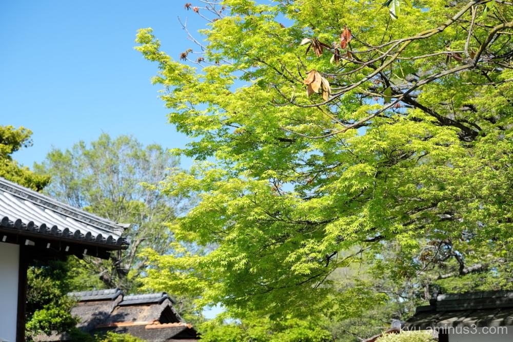 Japanese-plum Chishakuin temple Kyoto