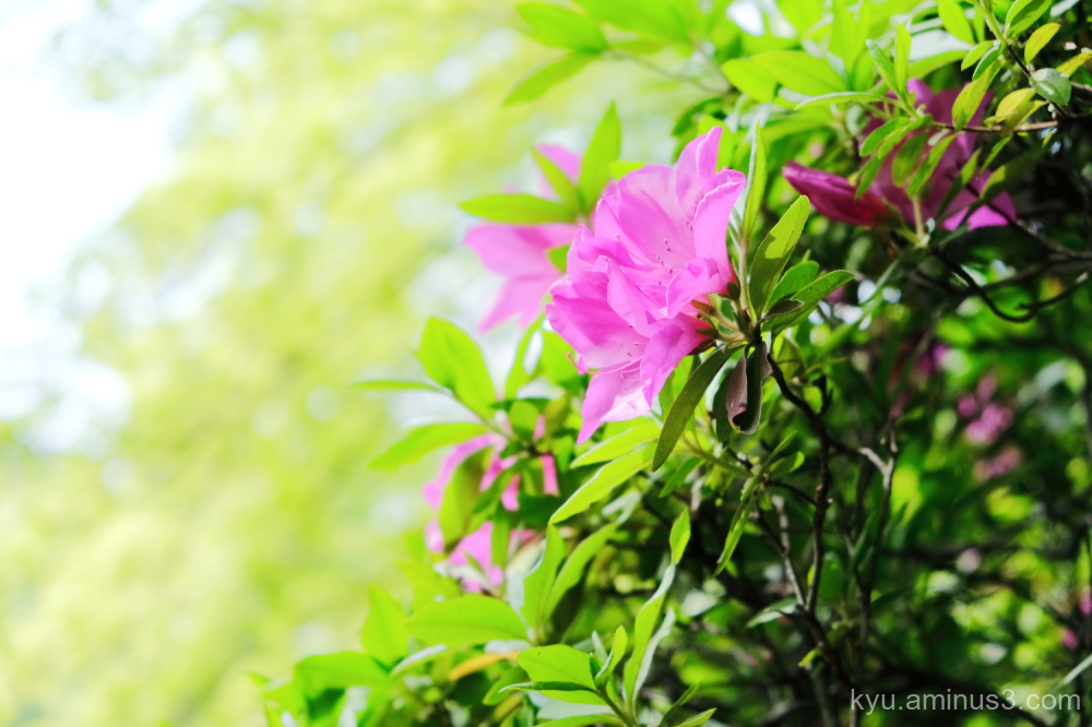 sparkle azalea blossoms Shinmyodo temple Kyoto