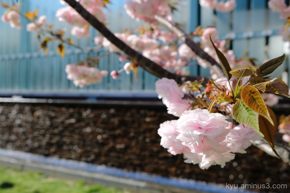 double-flowered cherry blossoms Umekoji park Kyoto