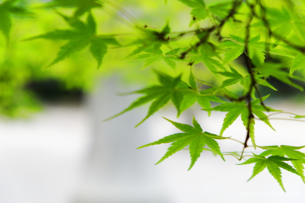 green-maple Shinnyodo temple Kyoto