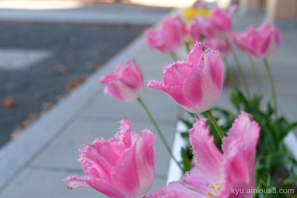 tulip flowers Nishihonganji temple Kyoto