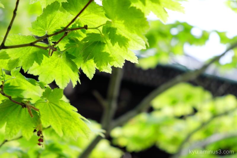 green-maple Shinnyodo temple Kyoto