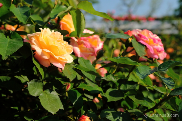 rose flower botanical-garden Kyoto