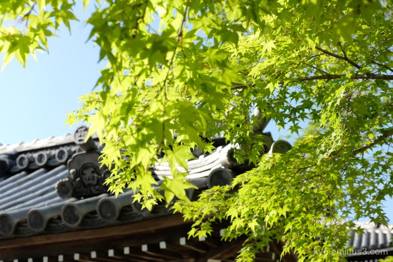 green-maple Saikyoji temple Otsu Shiga