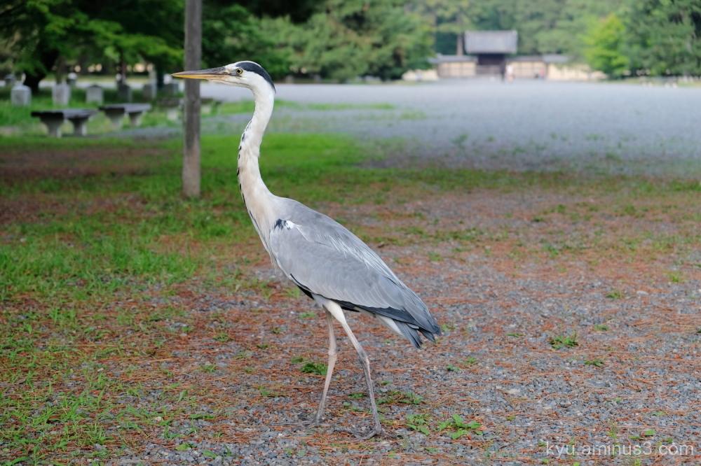 heron gosho Kyoto