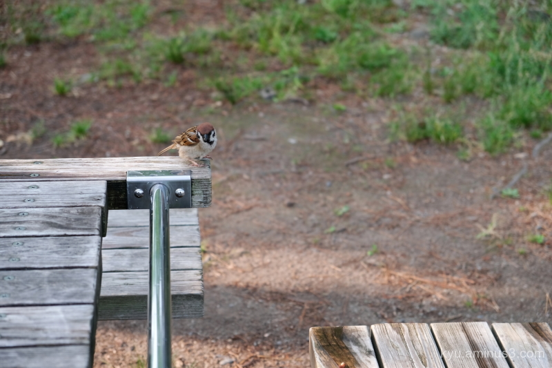 sparrow Gosho Kyoto