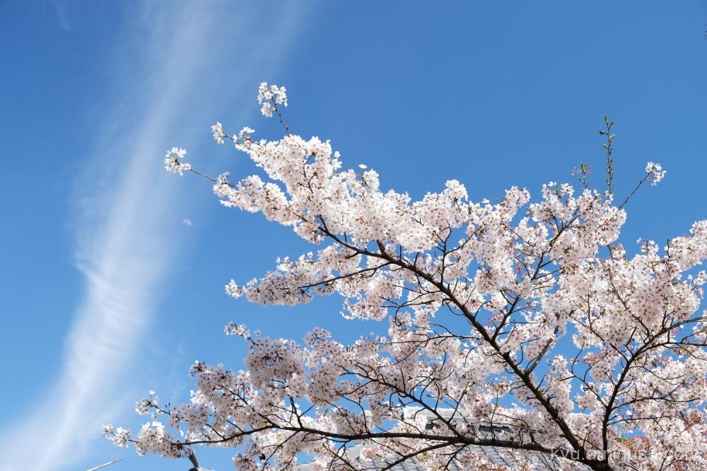 blue-sky cherry-blossoms Myokenji temple