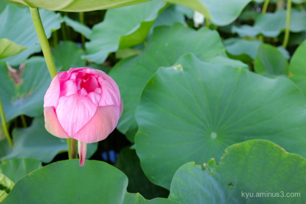 lotus flower Toji temple Kyoto