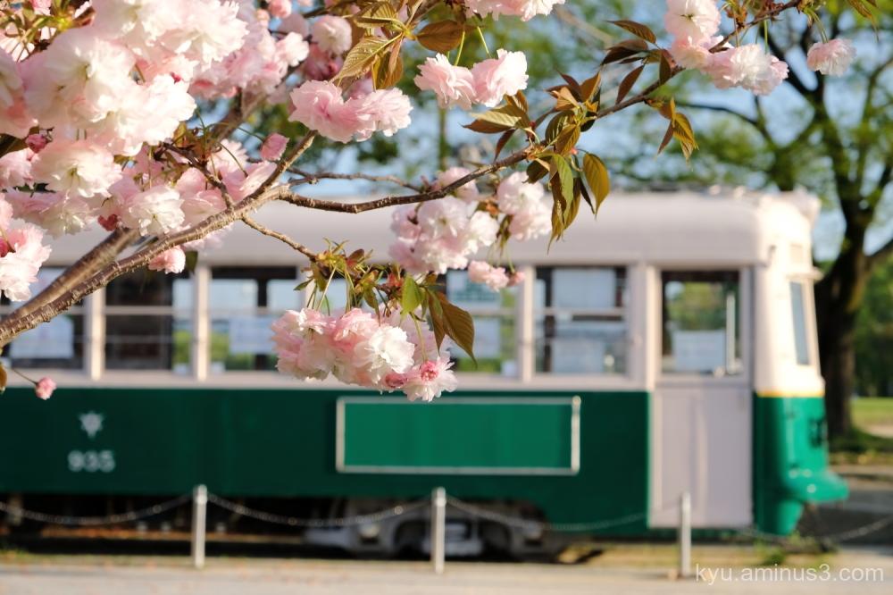 tram cherry-blossoms Umekoji park Kyoto