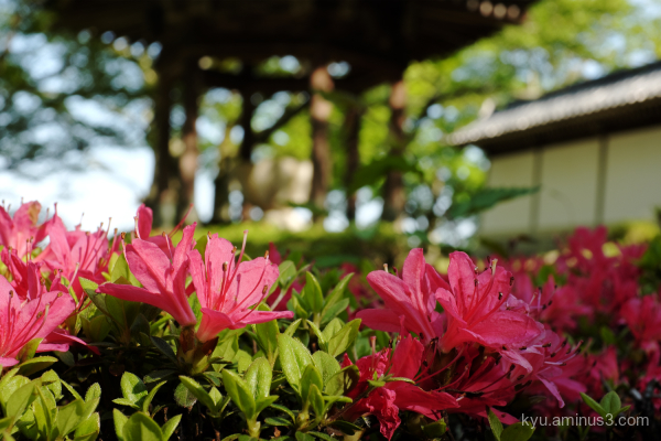 azalea blossoms Saikyoji temple Shiga