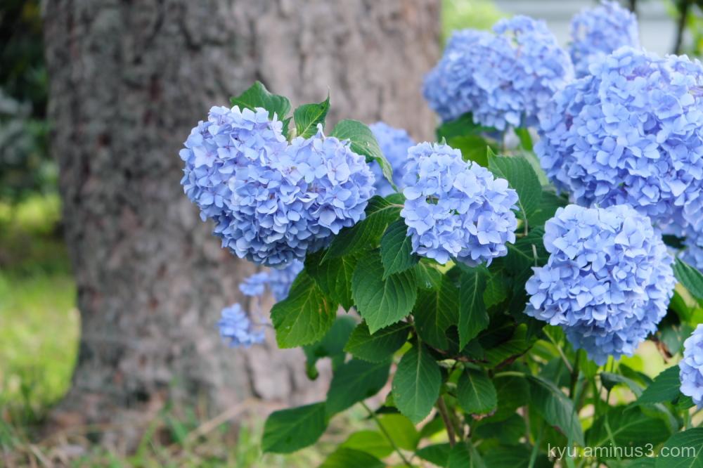 heart hydrangea flowers Gosho Kyoto