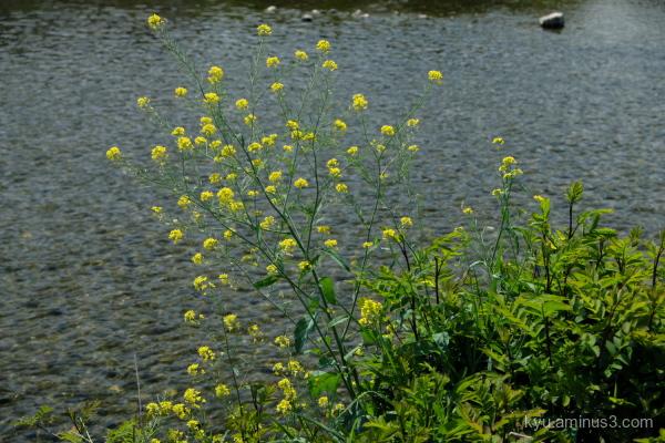 yellow-blossoms river Kamogawa Kyoto
