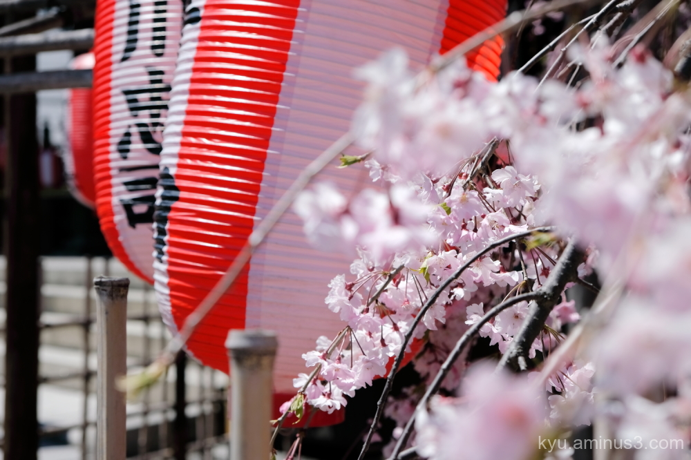 cherry-blossoms paper-lanterns Kyoto