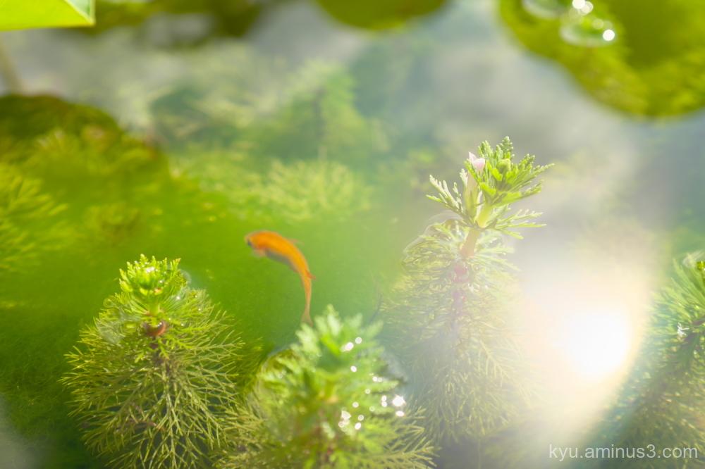 medaka-fish water-weed Myokakuji temple Kyoto