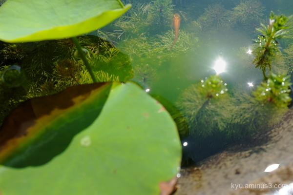 water-weed medaka-fish Myokakuji temple Kyoto