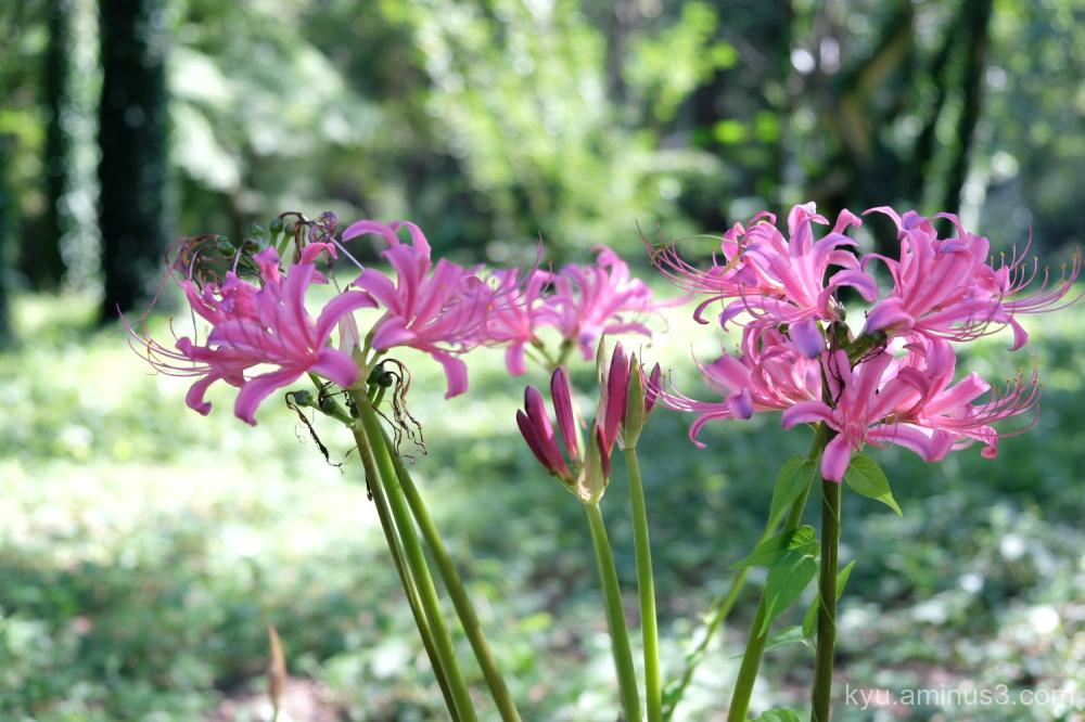 cluster-amaryllis flowers botanical-garden Kyoto